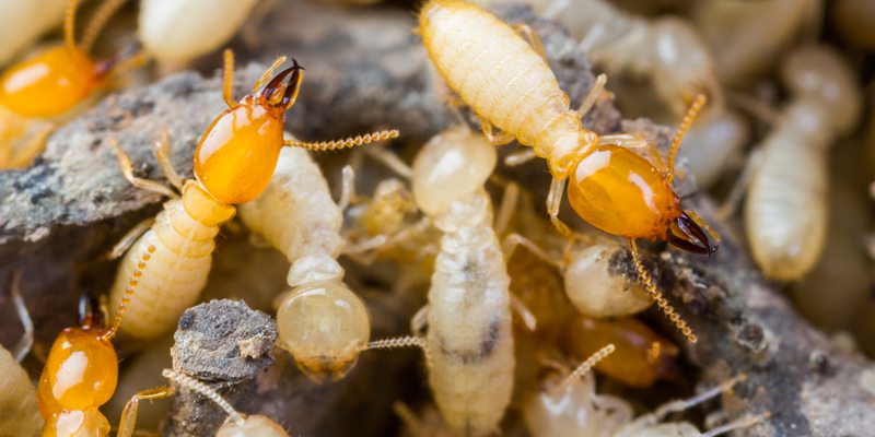 Termite Treatment In Arizona Termio Pest Control